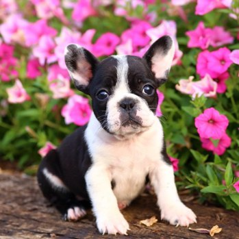 Photo of French Bulldog puppy