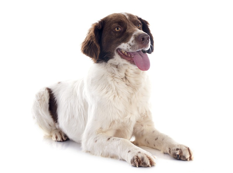 French Spaniel Large Photo
