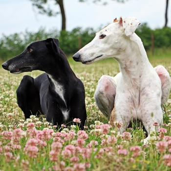 Photo of Galgo Español puppy