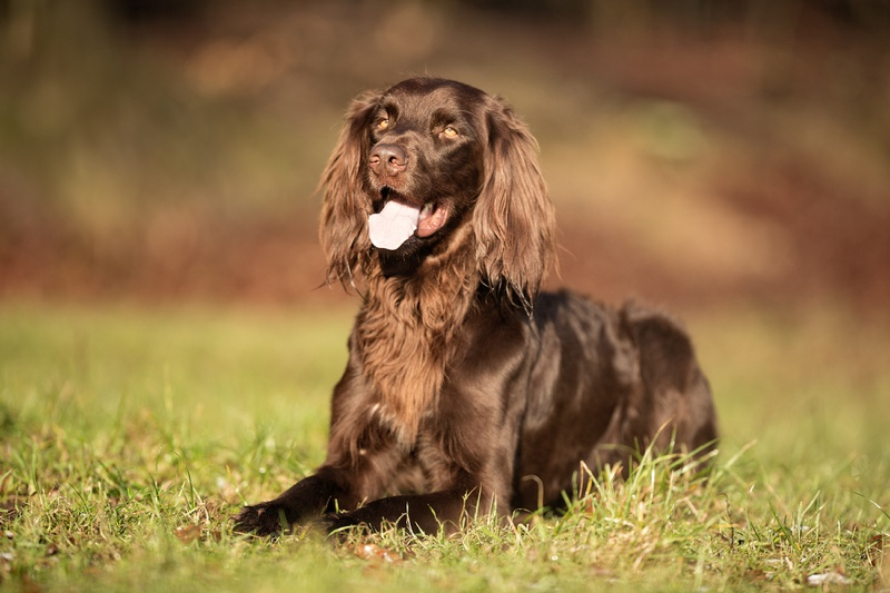 German Longhaired Pointer Large Photo