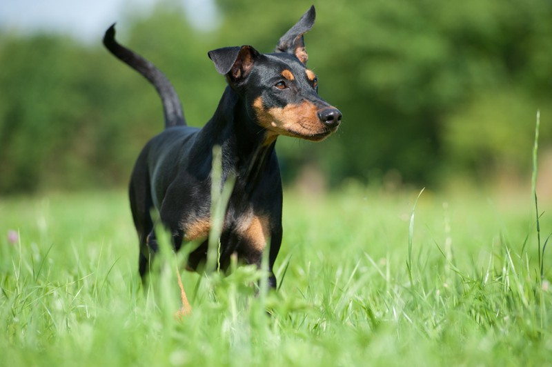 German Pinscher Large Photo