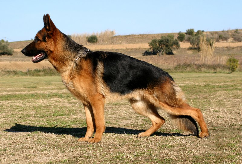 German Shepherd Large Photo