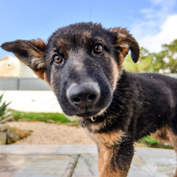 Photo of German Shepherd puppy