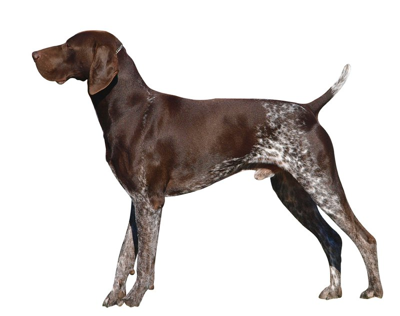German Shorthaired Pointer Large Photo