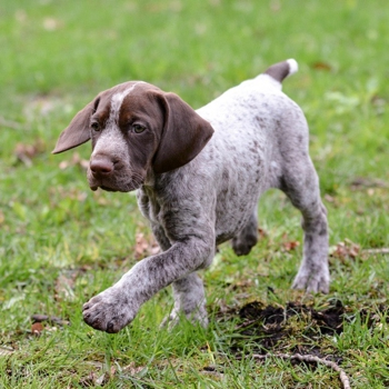 Photo of German Shorthaired Pointer puppy
