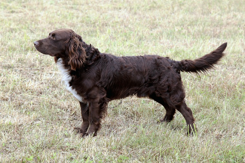German Spaniel Large Photo