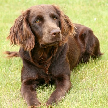 Photo of adult German Spaniel