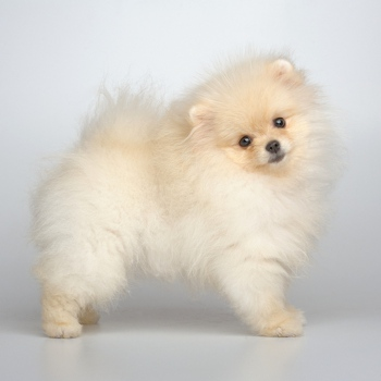 Photo of German Spitz puppy