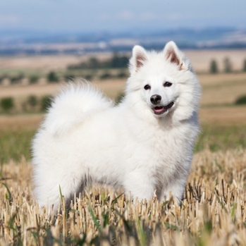 Photo of adult German Spitz