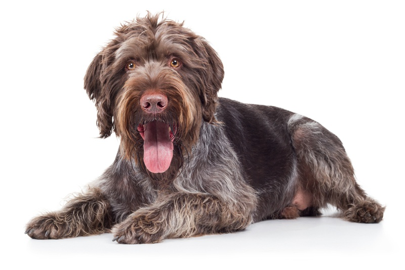 German Wirehaired Pointer Large Photo