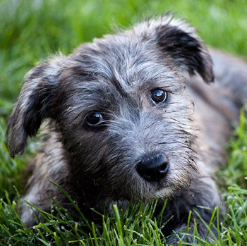 Photo of Glen of Imaal Terrier puppy