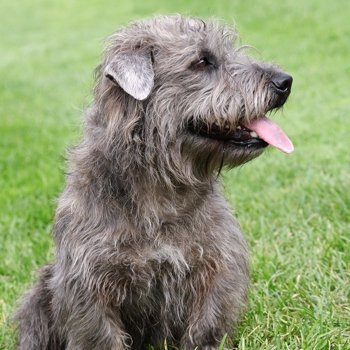 Glen of imaal terrier breed information characteristics heath photo of adult glen of imaal terrier altavistaventures Images