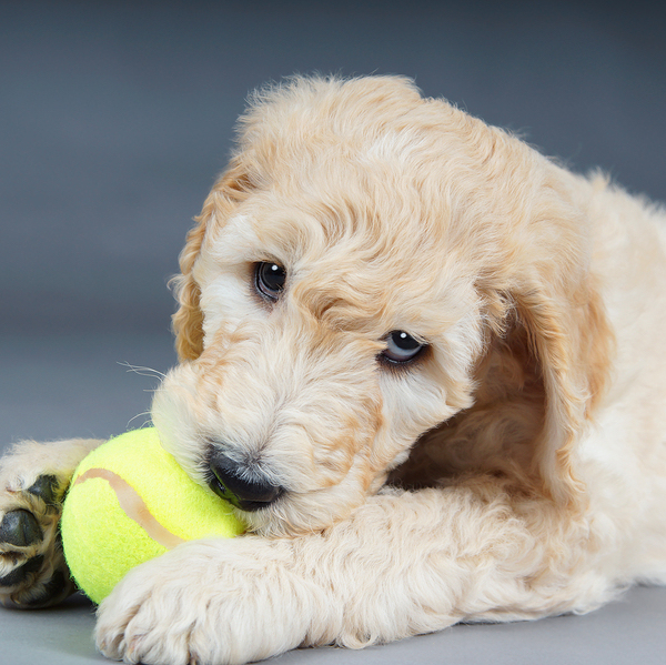 Photo of Goldendoodle puppy
