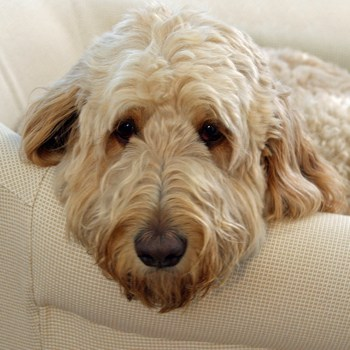 Photo of adult Goldendoodle