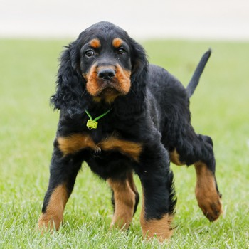 Photo of Gordon Setter puppy