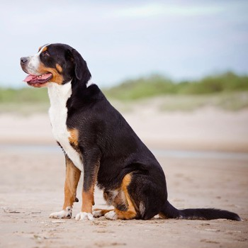 Photo of Great Swiss Mountain Dog puppy