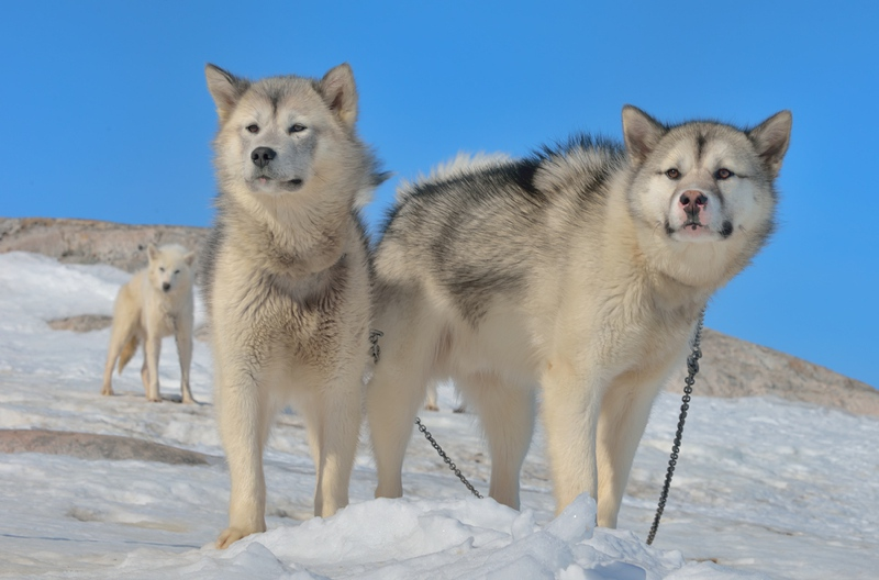 Greenland Dog Large Photo
