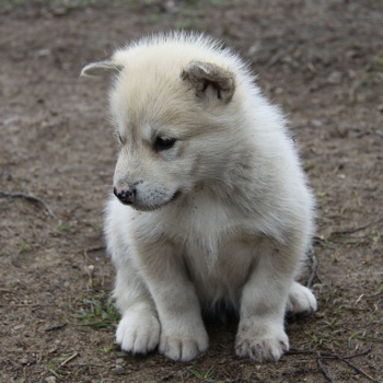 Photo of Greenland Dog puppy