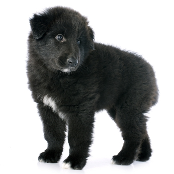 Photo of Groenendael Dog puppy