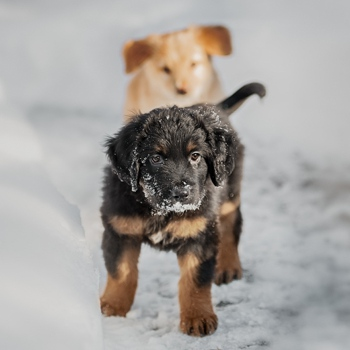 Photo of Hovawart puppy