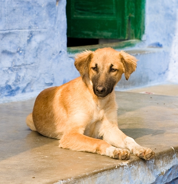 Photo of Indian Pariah Dog puppy