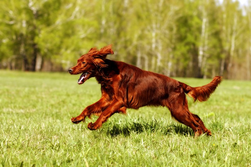 Irish Setter Large Photo
