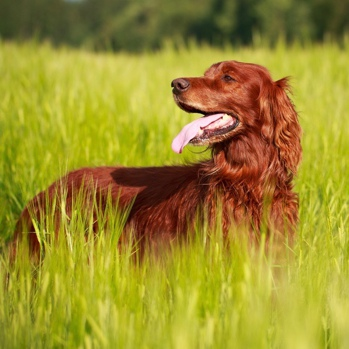 Photo of adult Irish Setter