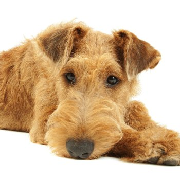 Photo of Irish Terrier puppy
