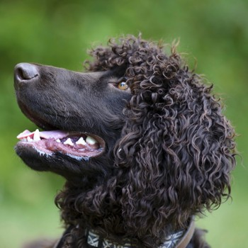 Photo of adult Irish Water Spaniel