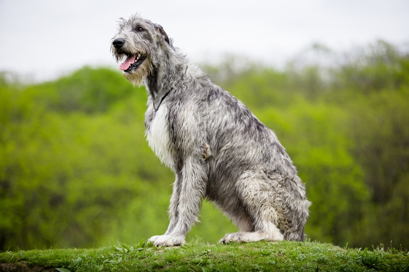 Irish Wolfhound Large Photo