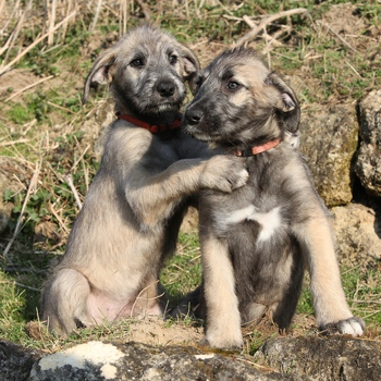 Photo of Irish Wolfhound puppy