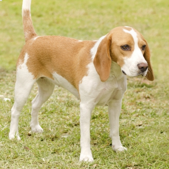 Photo of adult Istrian Shorthaired Hound