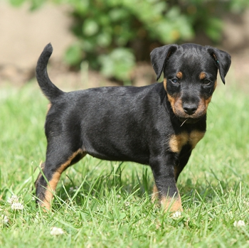 Photo of Jagdterrier puppy