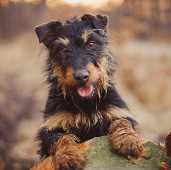 Photo of adult Jagdterrier
