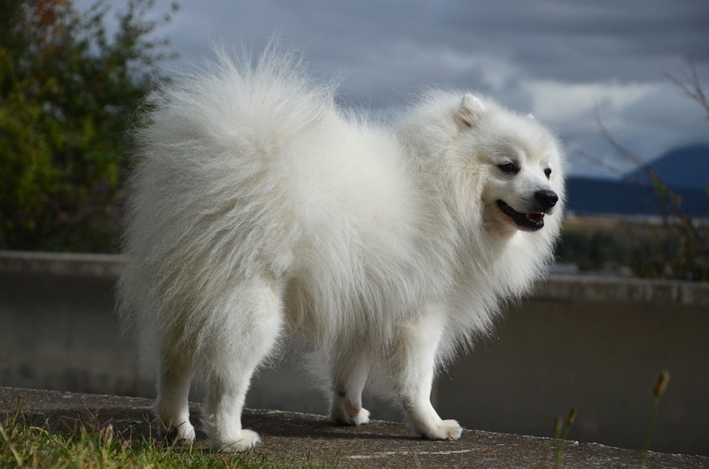 Japanese Spitz Large Photo