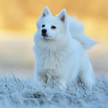 Photo of adult Japanese Spitz