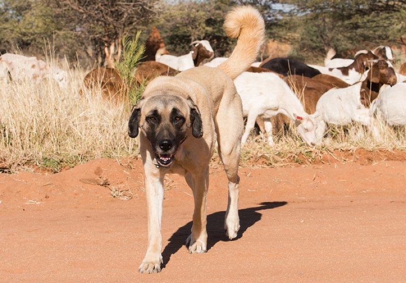 Kangal Large Photo