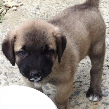 Photo of Kangal puppy