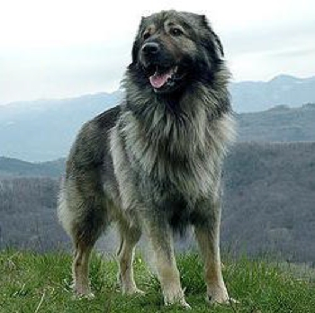 Photo of adult Karst Shepherd