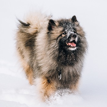 Photo of adult Keeshond