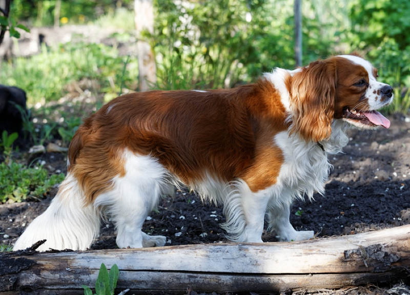 King Charles Spaniel Large Photo
