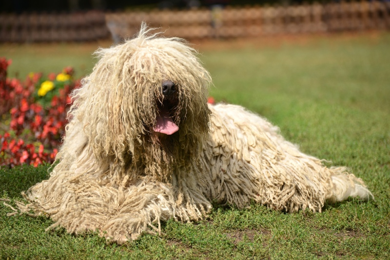 Komondor Large Photo