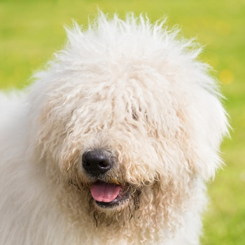 Photo of adult Komondor