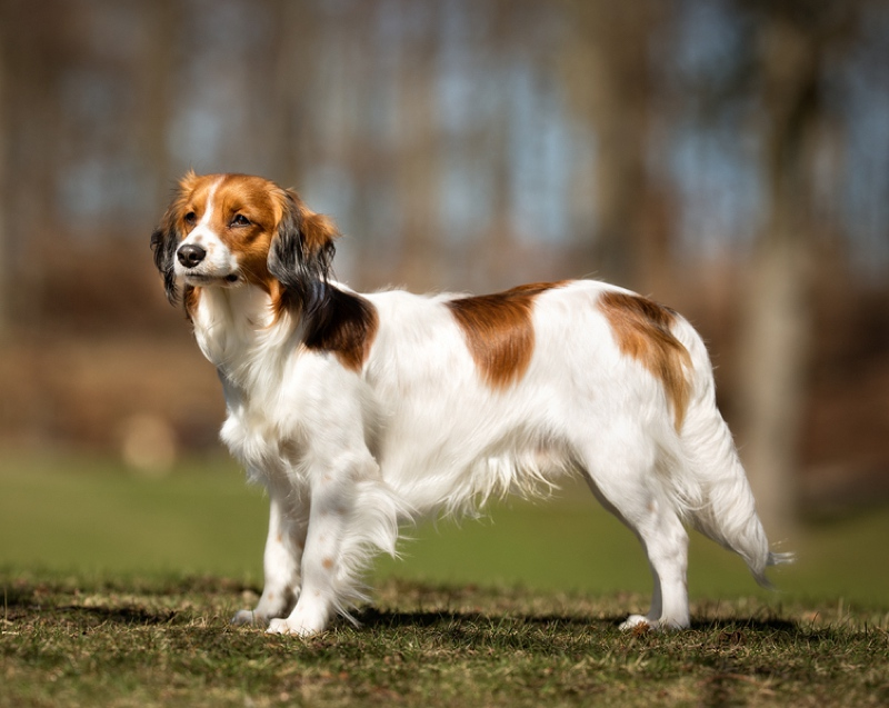 Kooikerhondje Large Photo