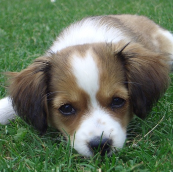 Photo of Kooikerhondje puppy
