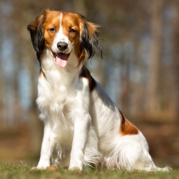 Photo of adult Kooikerhondje