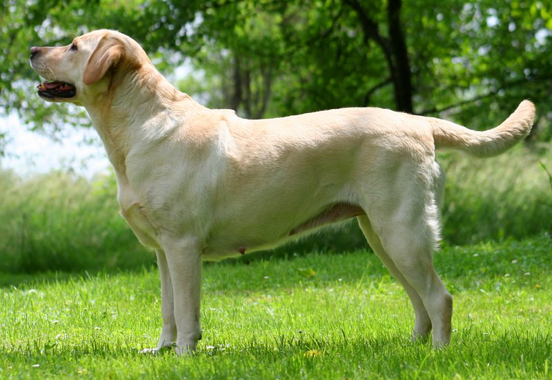 Labrador Retriever Large Photo