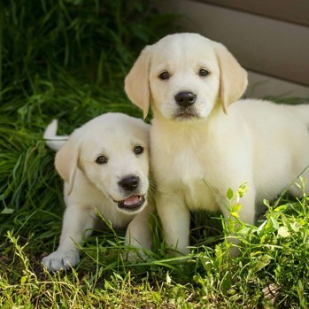Photo of Labrador Retriever puppy