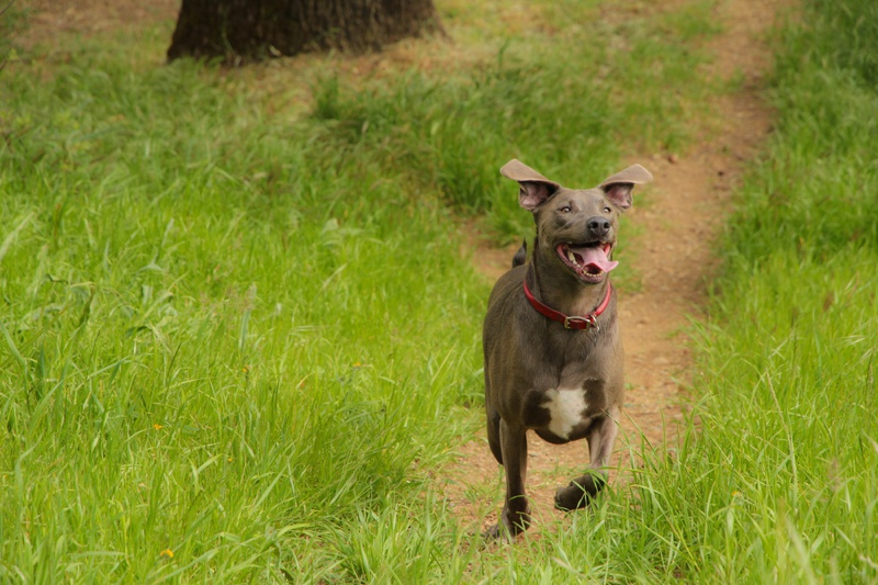 Blue Lacy Large Photo