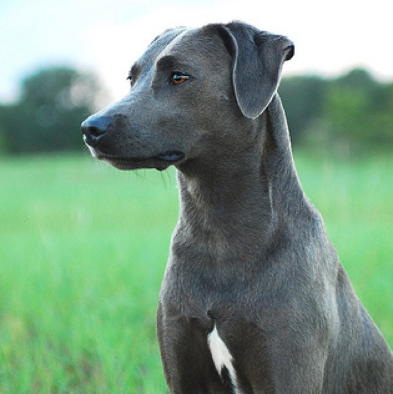 Photo of adult Blue Lacy